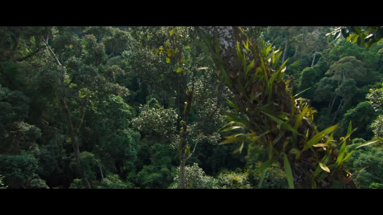 原始森林捕捉黑猩猩做科学实验