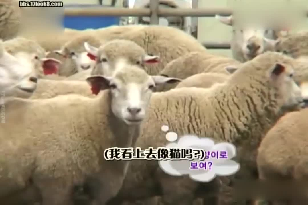 这群山羊真可爱,连身上的毛毛都那么可爱?