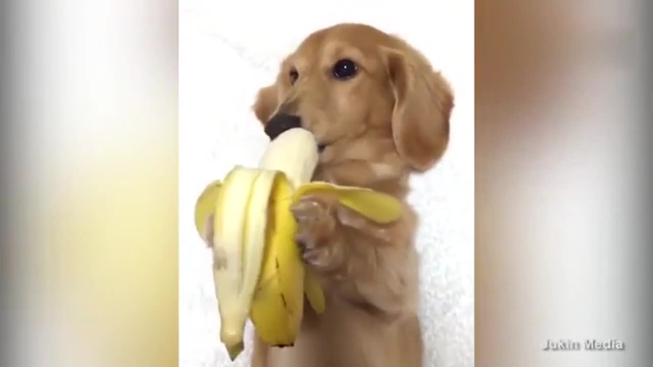 狗狗淡定优雅的吃着香蕉