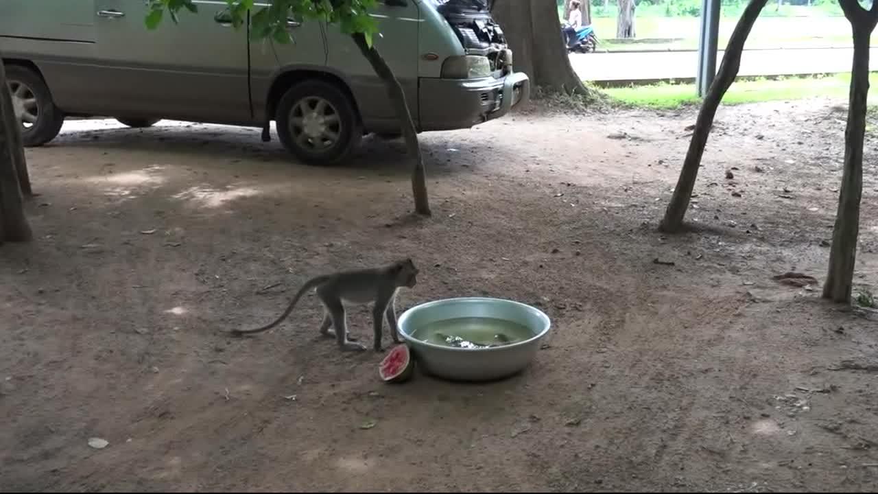 看来猴子也是挺喜欢吃西瓜的