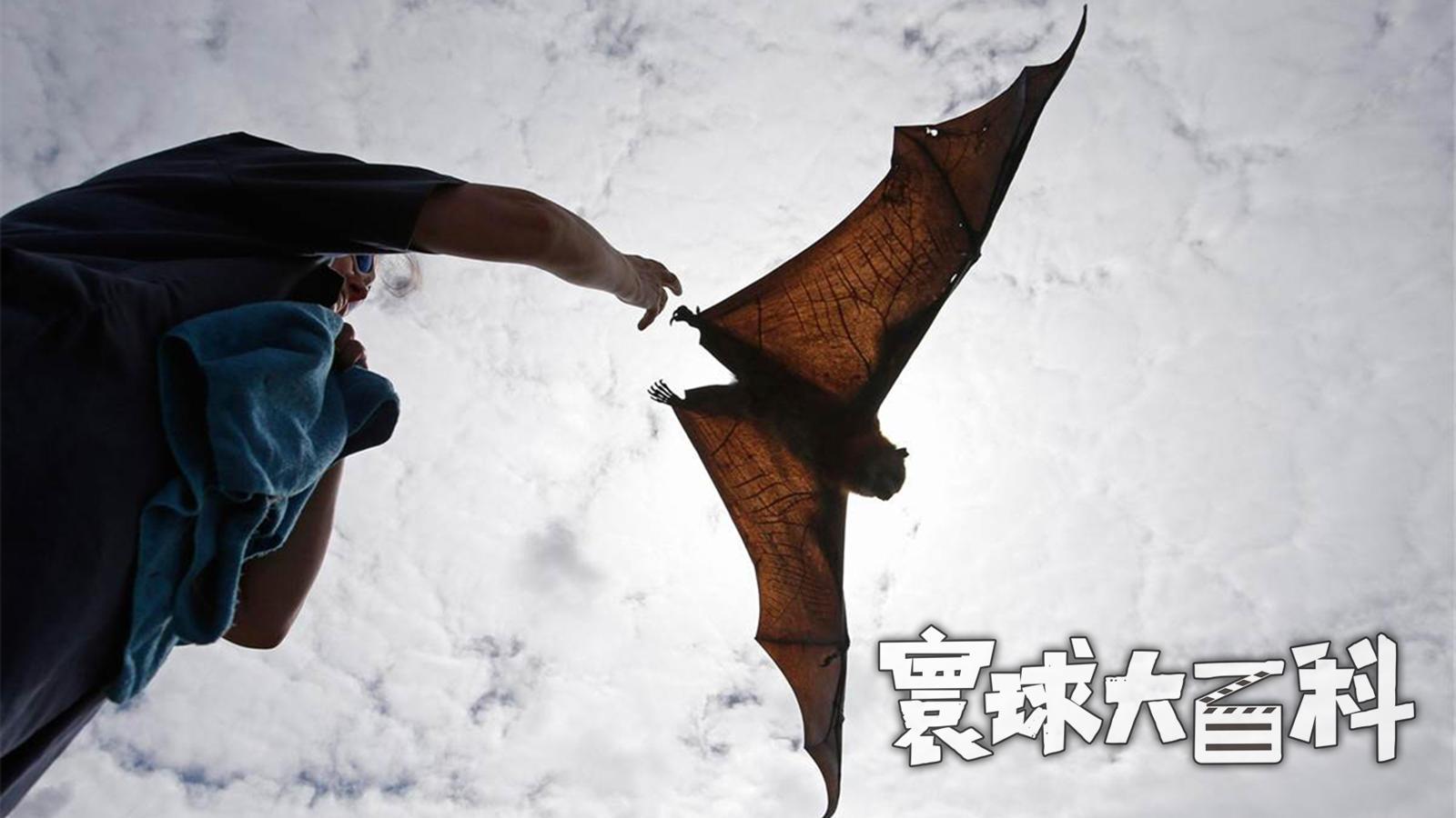 臂展2米酷似飞行的狐狸,电影《金刚》中的巨型蝙蝠确实存在