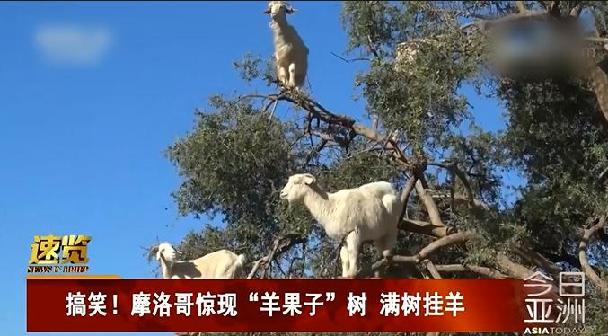 #搞笑趣事#摩洛哥惊现羊果子树,一大群羊上树究竟是为了几何?好有意思