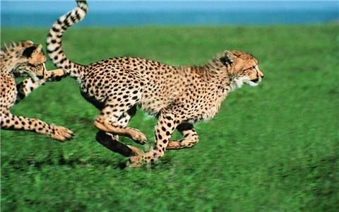 #猎豹狩猎#猎豹百米奔袭角马群,这速度不愧是陆地奔跑之王,草上飞呀
