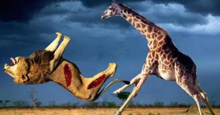 长颈鹿火力全开, 拼命攻击狮子, 也没能保住小鹿被猎食