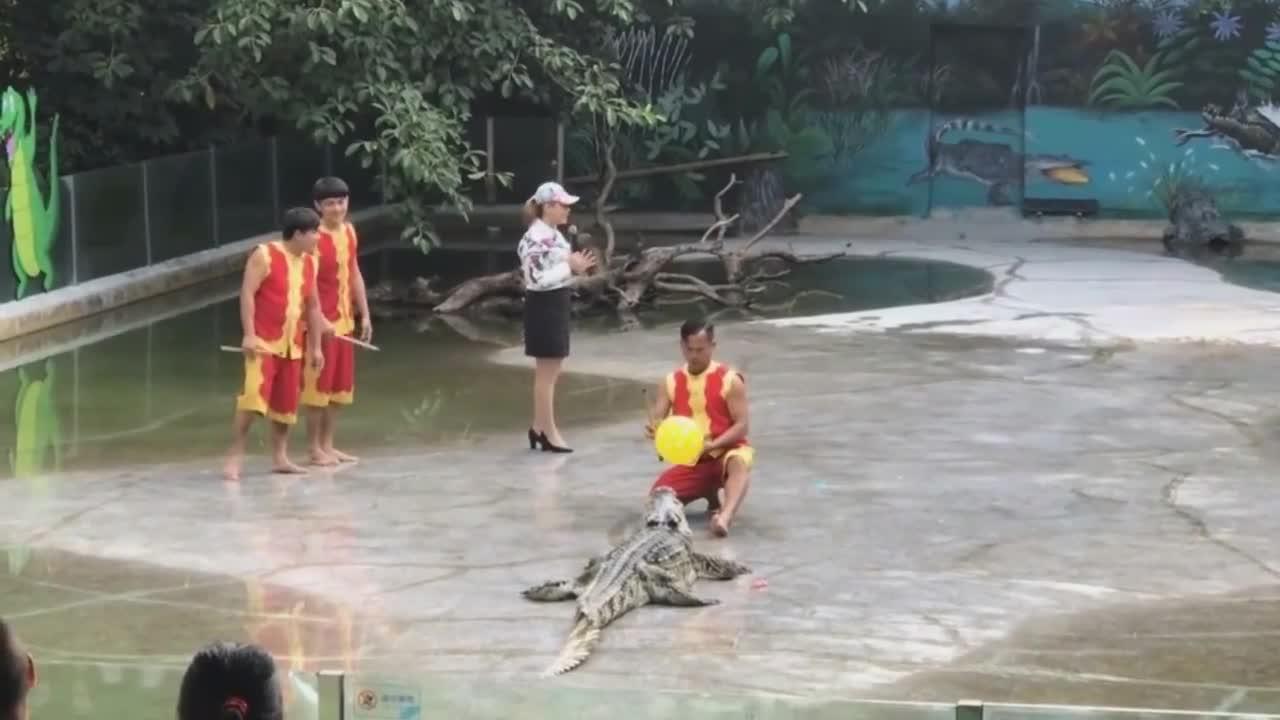 驯养师鳄鱼表演, 助手一个失误动作, 场面有点失控了!