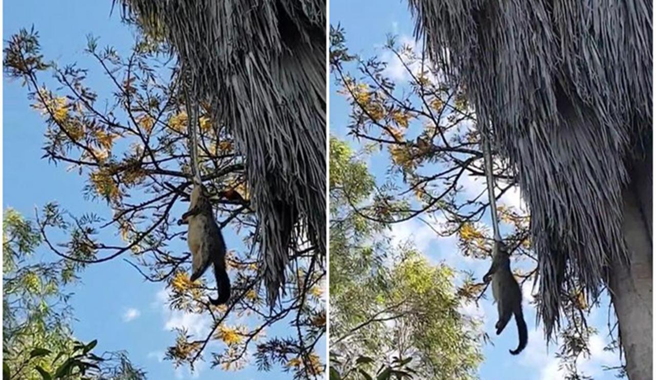 澳洲巨蟒倒挂树枝生吞大负鼠 场面惊人