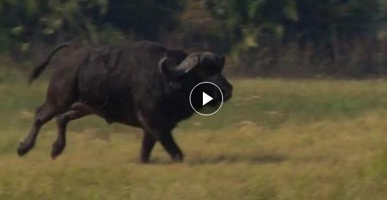 #水牛与狮子#前一秒大水牛还追着狮子跑,下一秒就被狮子追的成落汤鸡