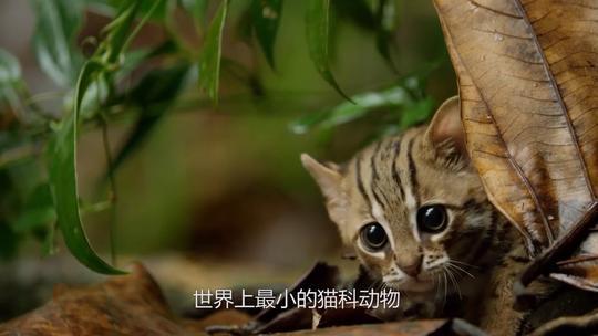 #猫咪#世界上最小的猫!就问你怕不怕!
