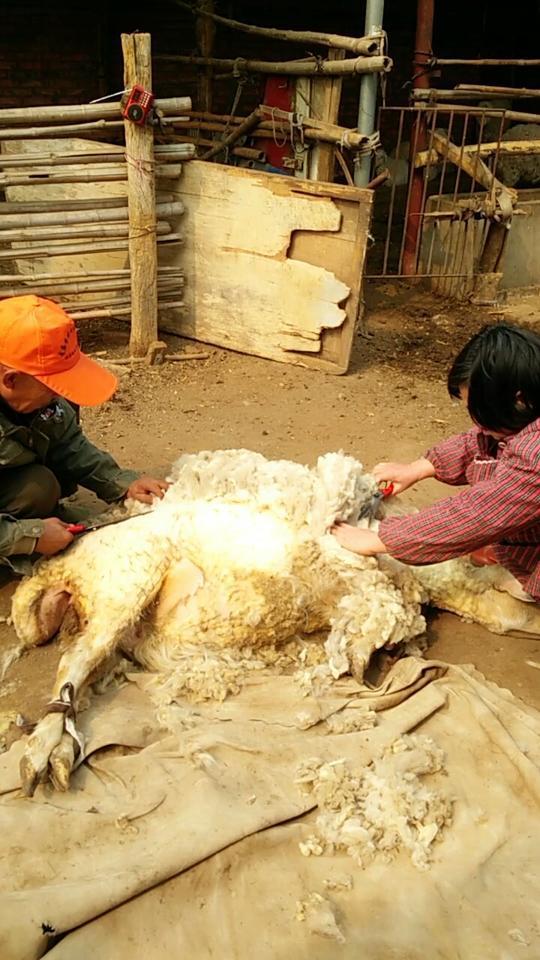 没见过剪羊毛的进来看看吧