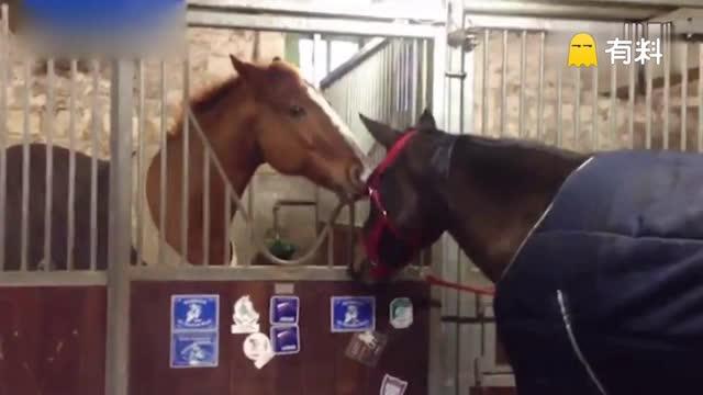 有爱!马儿巧嘴帮助同伴摘下马具走红网络