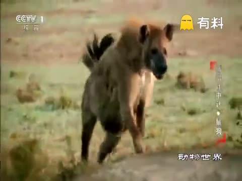 鬣狗群叫来5公里外的同伴狮群夺食,被狮子无情反杀,太惨烈