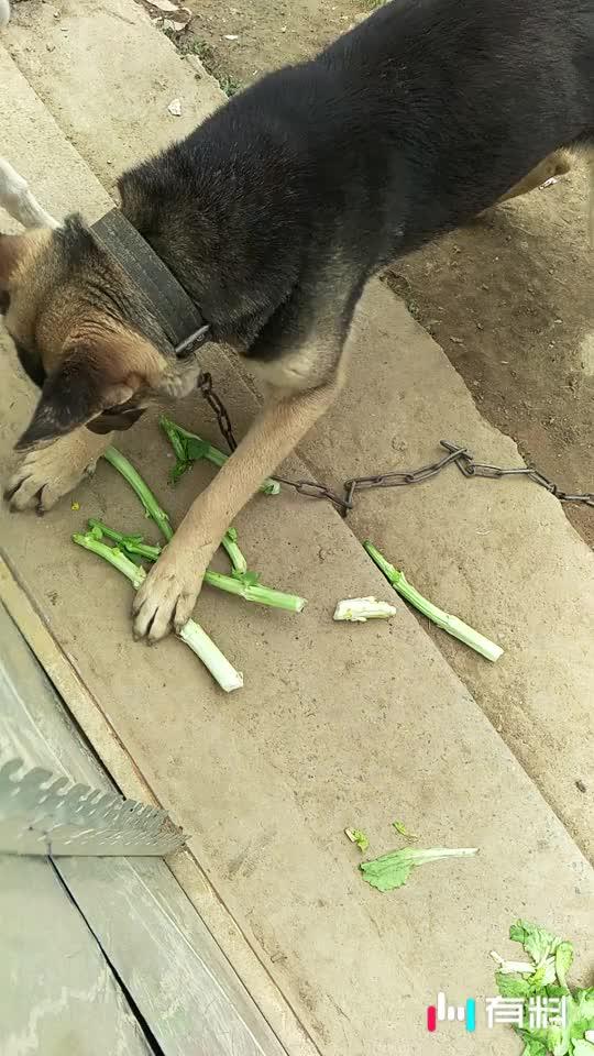 #狗也吃菜#