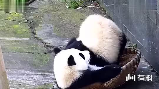 熊猫咬着毛巾死活不松口,小哥哥一脸的无奈,原谅我不厚道的笑了