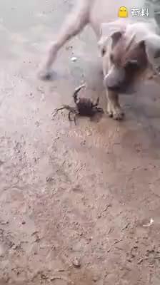 狗狗斗螃蟹
