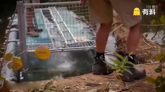 实拍澳洲四英尺长食畜鳄被活捉