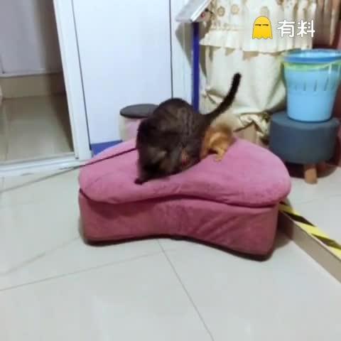 猫狗大战,猫咪完胜!#随手美...