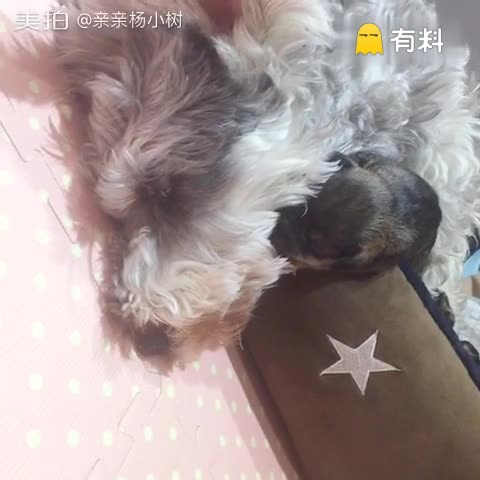 辣妈与壮汉#宠物##雪纳瑞宝宝#...