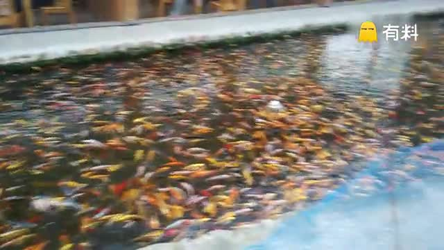 龙嗣中华鲟鱼
