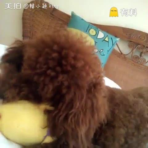 #宠物##泰迪##狗狗#