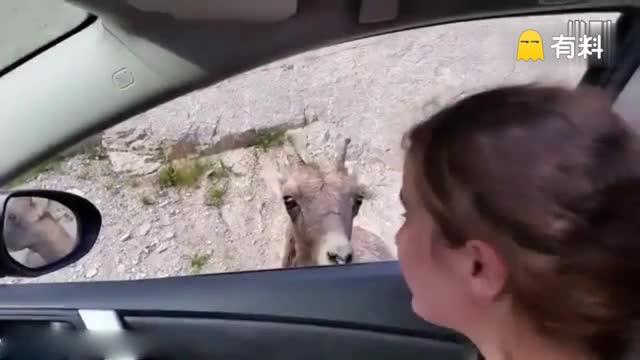 """免费""""洗车""""!山羊舔舐过路车身吃土保健"""