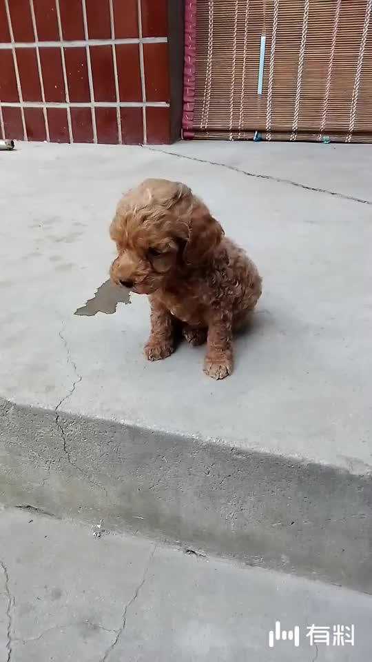 一个多月的小狗