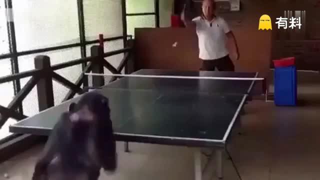 实拍大猩猩和男子乒乓球比赛 打爆人类还卖萌