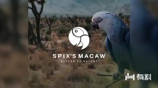 电影《里约大冒险》里绝迹的斯皮克斯金刚鹦鹉回来了