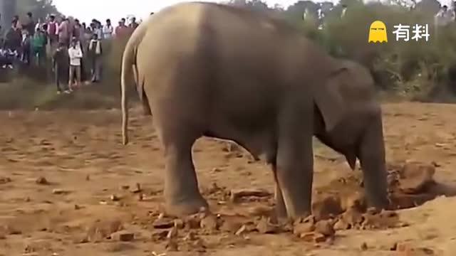 一只大象在泥土里挖了很久,挖出的东西让村民哭了