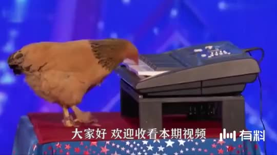 """会弹钢琴的母鸡,在比赛上演奏曲子,被称为""""音乐鸡"""""""