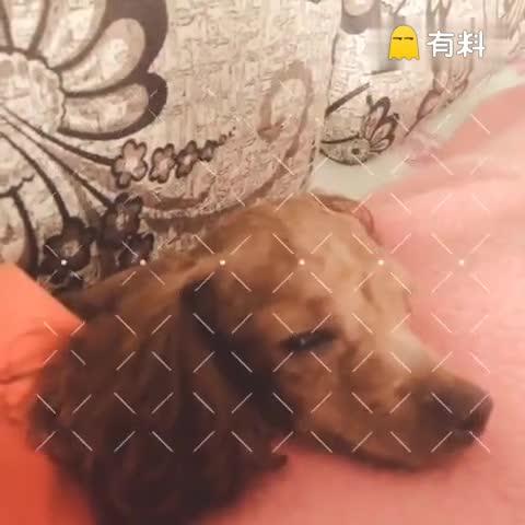 #随手美拍##宠物##泰迪#