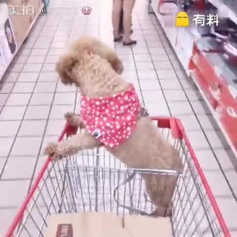 偷渡成功,超市是不许带狗狗的...