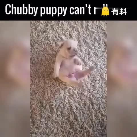 翻不了身的小奶狗,双腿在空中乱蹬,可怜又可爱