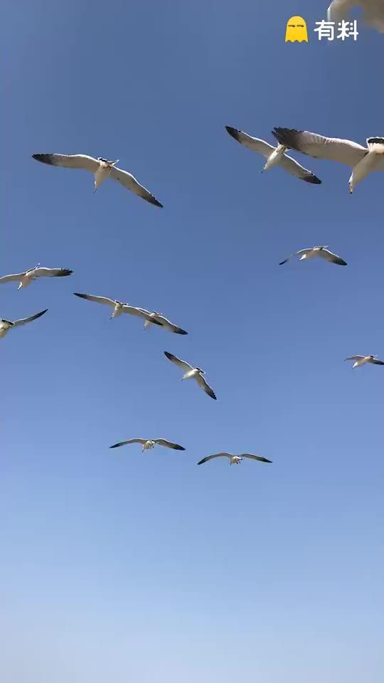 #蓝天海鸥鸣!美啊!#