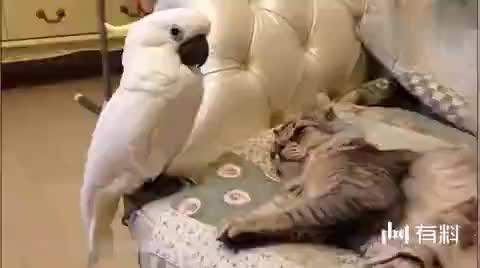 这只鹦鹉趁着猫咪睡着,跑去调戏它,好萌蠢好可爱啊