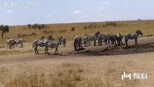 马塞马拉大草原上的斑马群之一