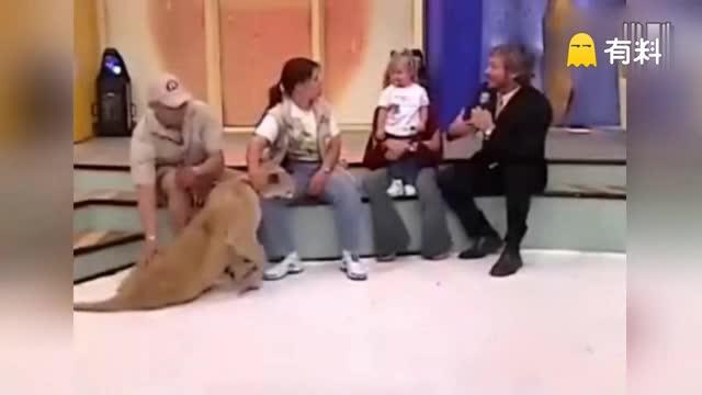 惊险!墨西哥综艺节目宝宝哭泣 狮子进入捕食状态猛冲上前攻击