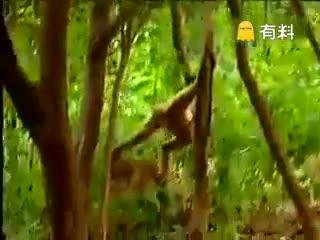 猴子#搞笑#逗老虎