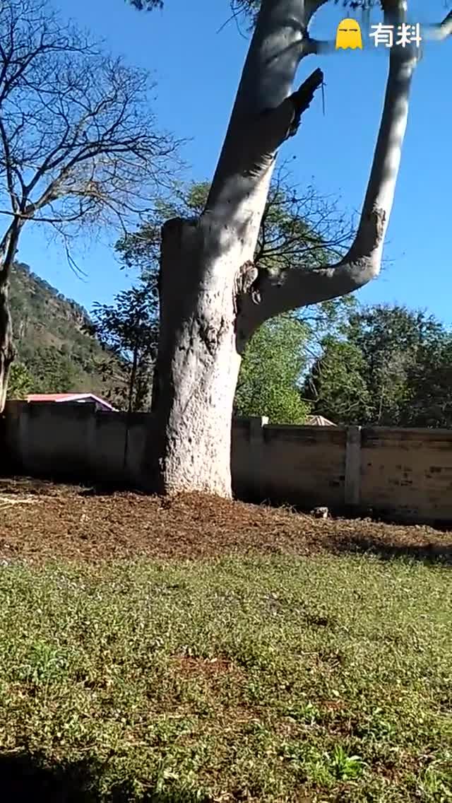 #666#你家有这么大的树吗