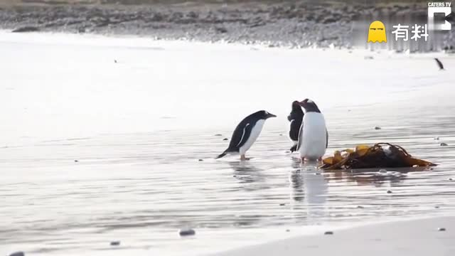 心疼!一只被海浪吓到的小企鹅的内心活动