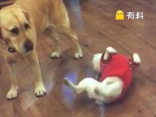 #碰瓷狗狗#