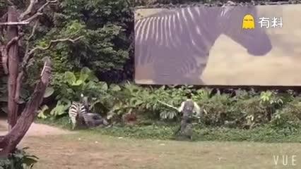 #让你见识一下斑马吃人,绝对真实!#