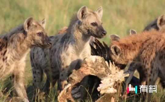 #敢于对抗雄狮的非洲二哥竟然公开做那事!#