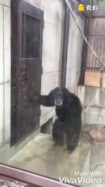 德岛动物园的一只黑猩猩...这是怎么了啊.