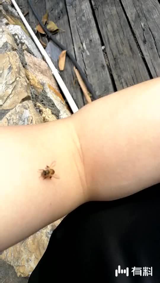 小蜜蜂嗡嗡嗡飞到手臂中